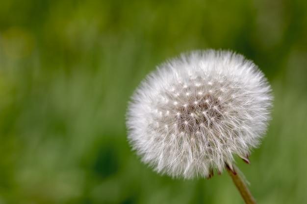 Pissenlit moelleux blanc avec des graines sur la nature floue verte naturelle