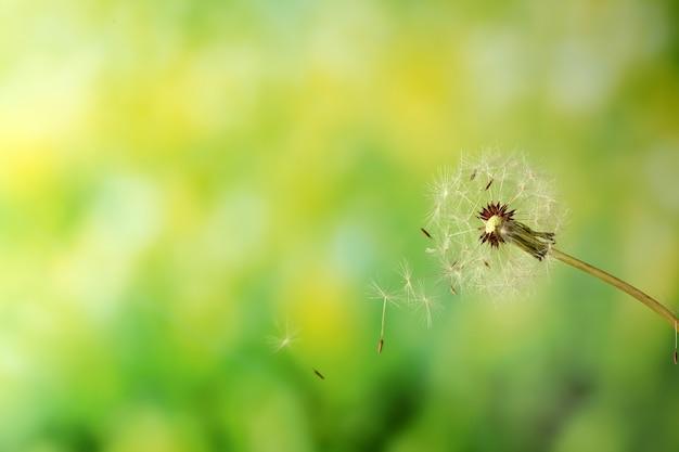 Pissenlit soufflé sur vert flou