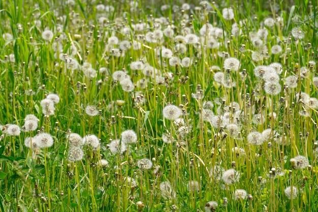 Pissenlits blancs dans l'herbe