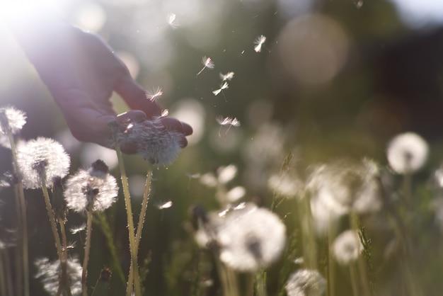 Des pissenlits blancs moelleux au lever du soleil