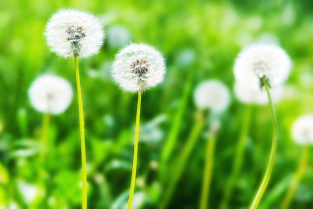 Pissenlits blancs sur la pelouse verte. paysage d'été.