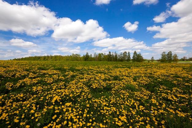 Pissenlits - un champ sur lequel poussent des pissenlits jaunes. printemps