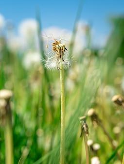 Pissenlits sur un champ vert en été