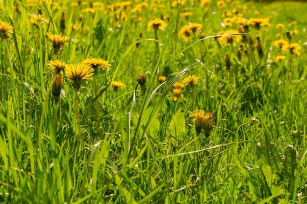 Pissenlits dans l'herbe