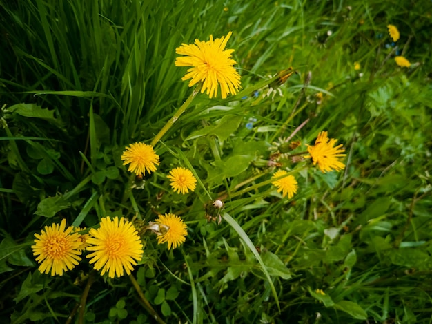 Pissenlits en fleurs jaunes dans l'herbe verte closeup fond d'été