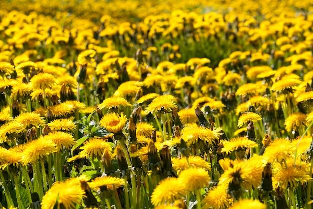 Pissenlits jaune vif