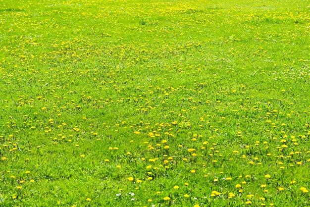 Pissenlits jaunes sur le champ vert libre en été