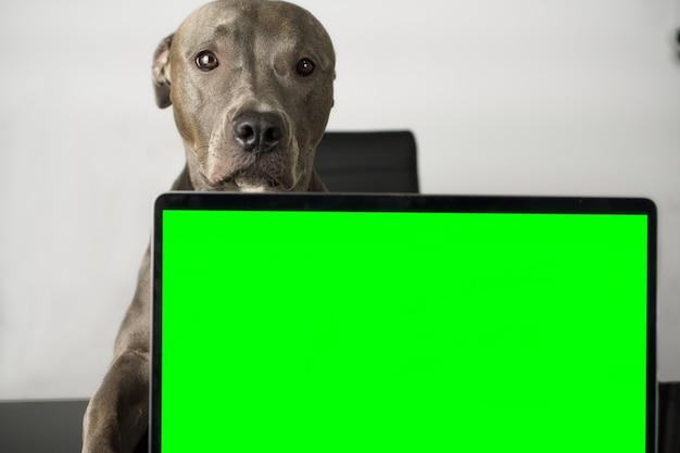 Pit-bull dog avec un joli visage assis sur la chaise et sur la table un cahier avec un écran vert comme touche chorma pour insérer un écran. le pitbull simule comme s'il travaillait avec l'ordinateur.