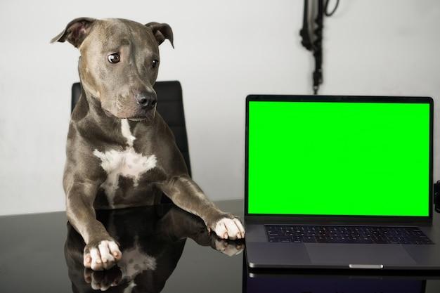 Pit-bull dog avec un joli visage assis sur la chaise et sur la table un cahier avec un écran vert comme touche chorma pour insérer un écran.