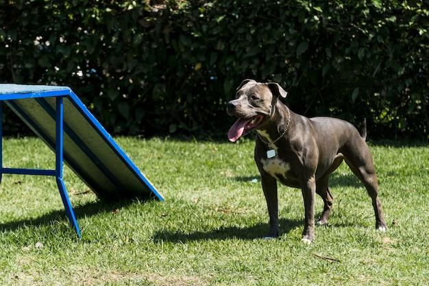 Pit-bull dog jouant et s'amusant dans le parc. mise au point sélective.