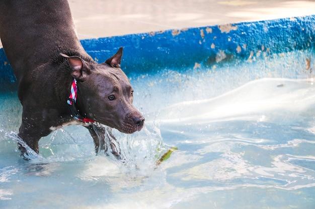 Pit-bull dog nageant dans la piscine du parc. journée ensoleillée à rio de janeiro.