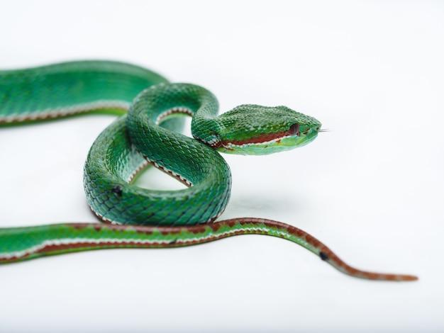 Pit viper mâle (trimeresurus popeorum)
