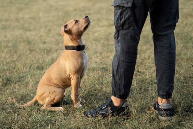 Pitbull regardant son propriétaire