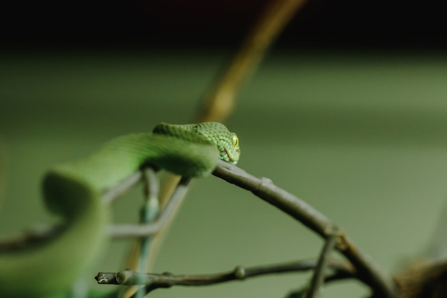 Pitviper aux lèvres blanches est un serpent qui cherche une activité nocturne sur le sol. vit souvent dans les arbres