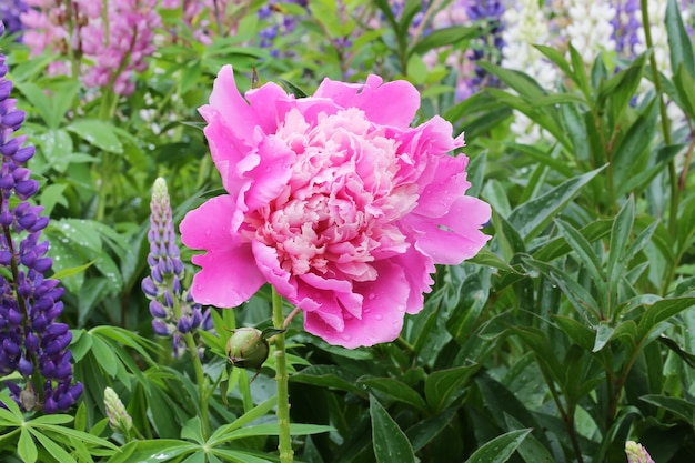 Pivoine dans le jardin fleuri