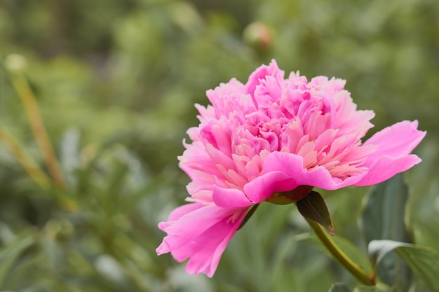 Pivoine fleur rose sur fond d'herbe verte.