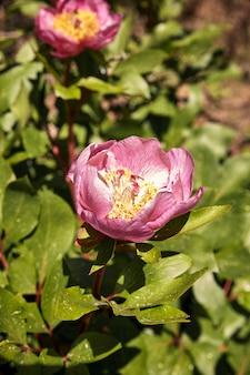 Pivoine fleurie belle fleur dans un matin de printemps