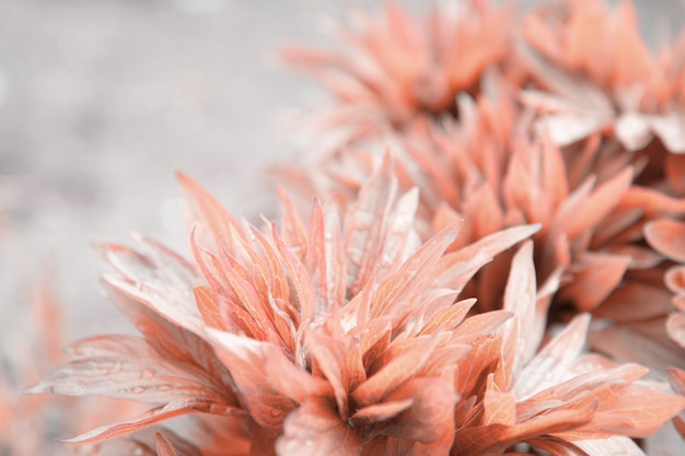 Pivoine laisse en rouge avec des gouttes de la pluie
