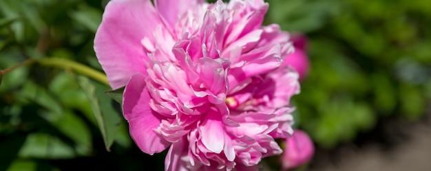 Pivoine magnifique en pleine floraison pivoine de jardin. bourgeon de pivoine rose dans la verdure. concept de jardinage.belle fleur de pivoine éponge rose-blanc doucement qui fleurit dans le jardin avec des fleurs de lavande pourpres