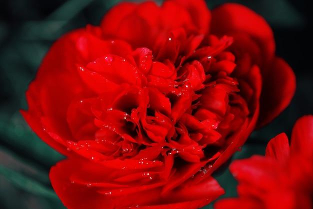 La pivoine rouge fleurit dans le jardin