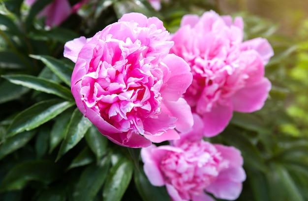 Pivoines dans la rosée après la pluie. belles fleurs printanières dans la nature.