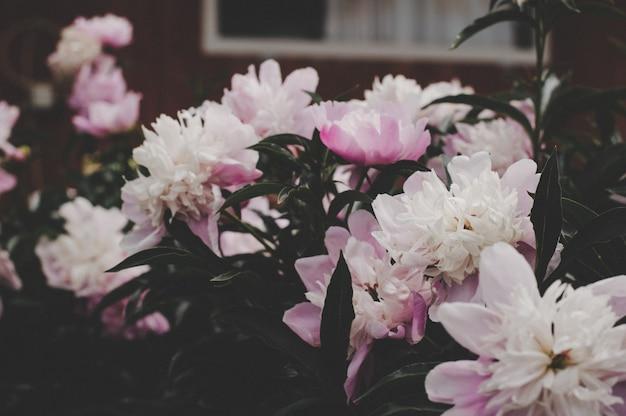 Pivoines en fleurs, couleurs chaudes et belles fleurs