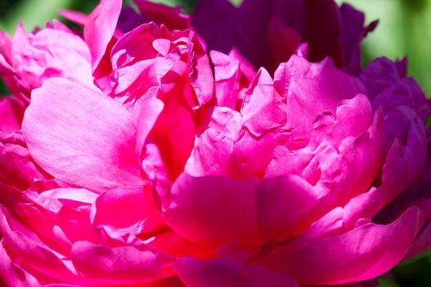Pivoines rouges fleurissant en été, plantes fleuries pour décorer le territoire
