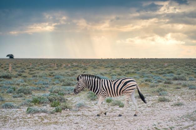 Plaines de zèbre dans le parc national d'etosha