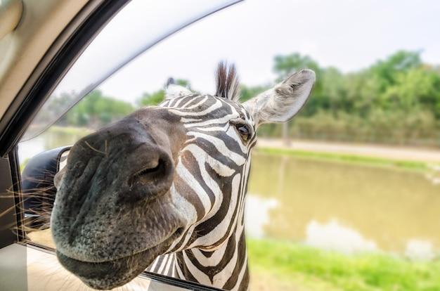 Plains zebra, common zebra ou equus quagga a déposé un en-tête dans la voiture des touristes pour se nourrir