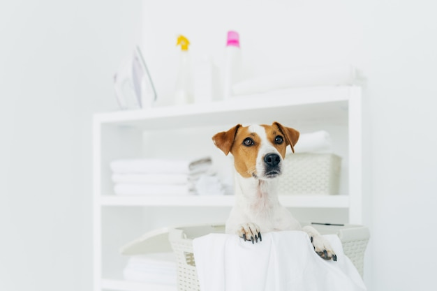 Plan intérieur d'un chien de race dans un panier à linge avec du linge blanc dans la salle de bain, console avec serviettes pliées, fer à repasser et détergents