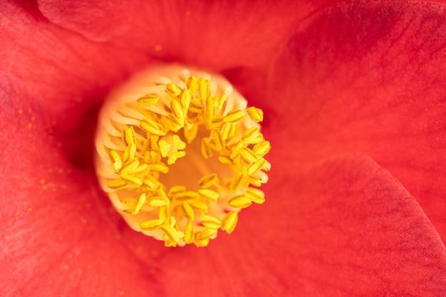 Plan macro d'un beau camélia rouge avec étamines, pistils et pétales. fleur