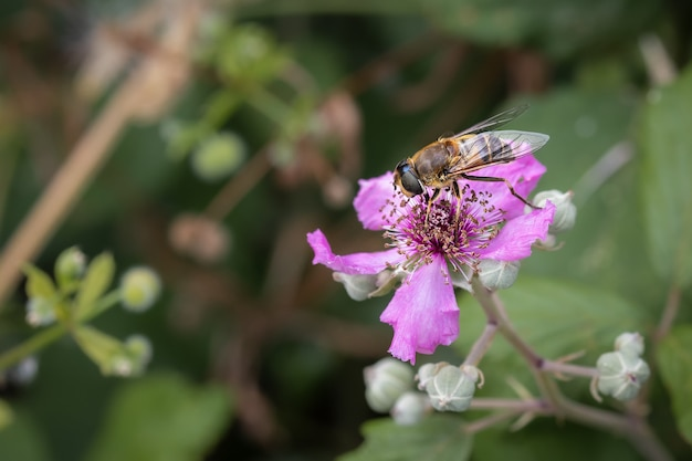 Plan macro d'un hoverfly sur une fleur rose