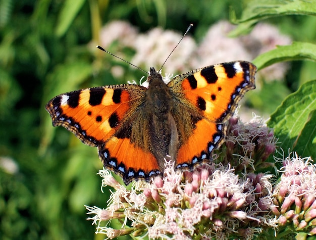 Plan macro d'un papillon orange sur une fleur