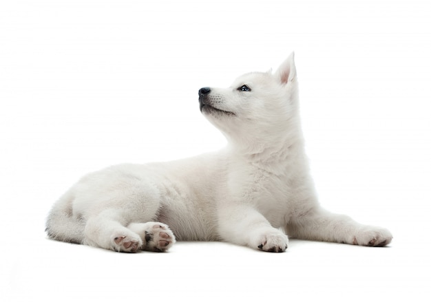 Plan d'un mignon petit chiot husky sibérien blanc couché en regardant la surface sur le côté isolé sur blanc.