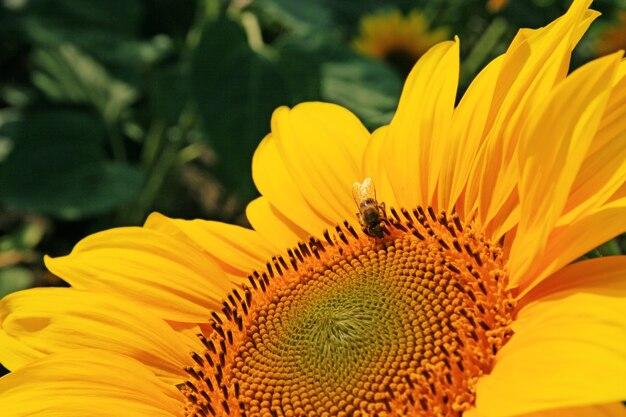 Plan rapproché de tournesol frais, agriculture biologique dans la plantation de campagne