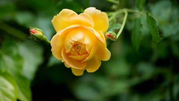Plan de rose jaune qui fleurit dans le jardin d'automne