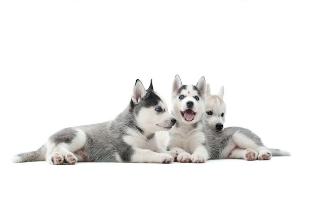 Plan de trois adorables chiots husky sibériens couchés ensemble isolé sur blanc.