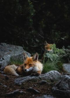 Plan vertical de renards errant autour des rochers dans une forêt