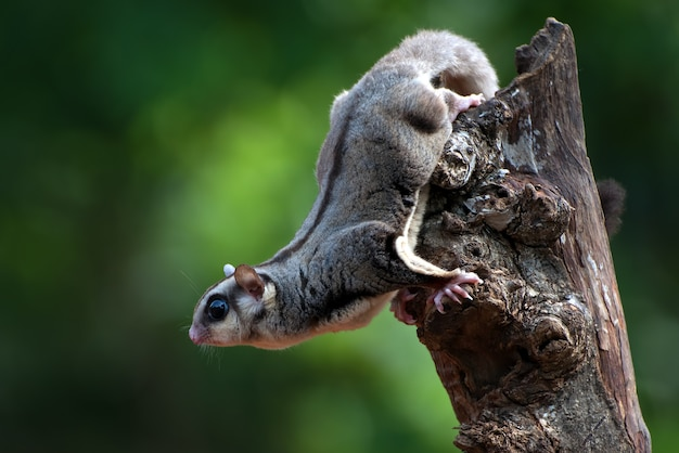 Planeur de sucre accroché à une branche d'arbre