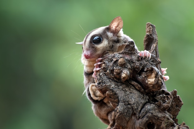 Planeur de sucre petaurus breviceps sur branche d'arbre