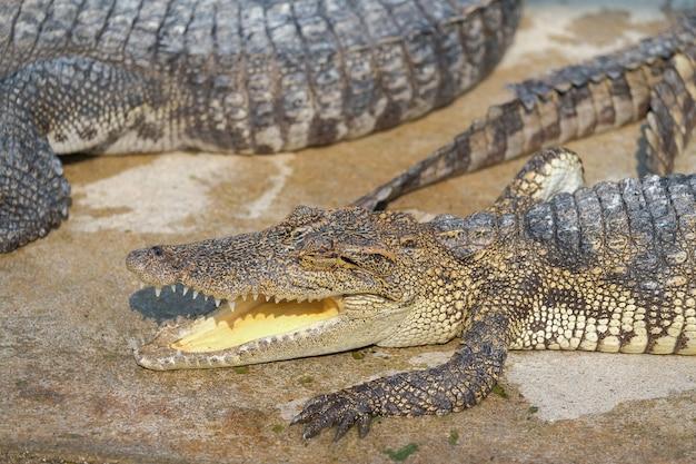 Plans d'eau sur le bébé crocodile