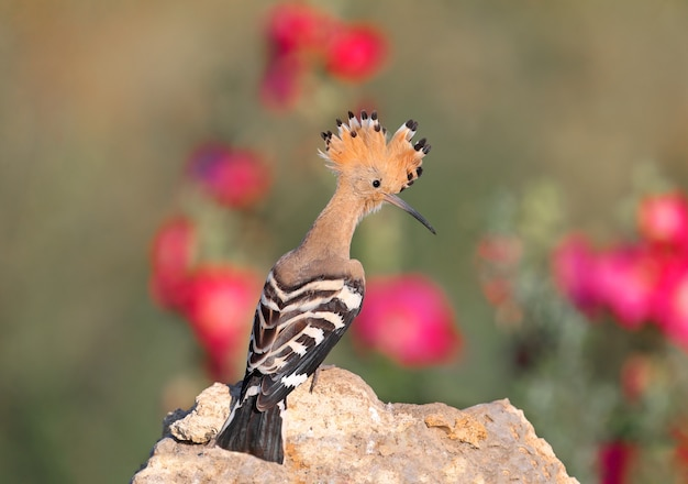 Plans uniques et de groupe de l'incroyable huppe eurasienne (upupa epops). oiseaux abattus dans la douce lumière du matin dans un habitat naturel.