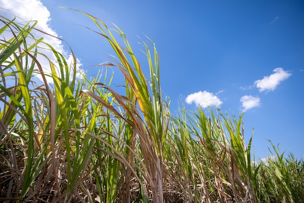 Plant de canne à sucre