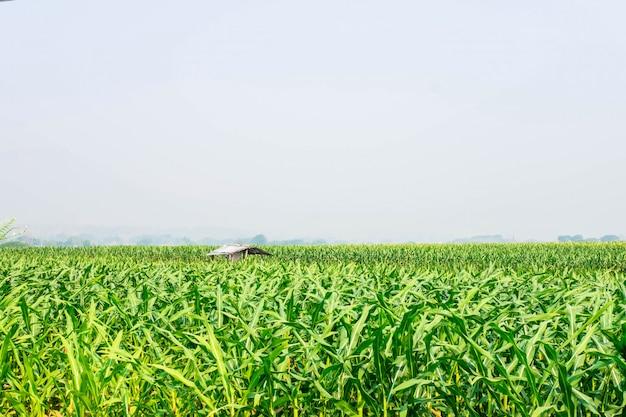 Plant de maïs dans le champ de maïs