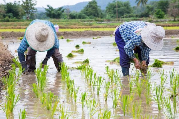 Plant de riz vert de fermier asiatique au travail