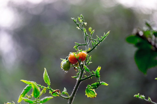Plant de tomate biologique poussant en serre bouquet frais de tomates naturelles rouges sur plante