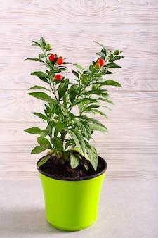 Plant de tomate dans un pot