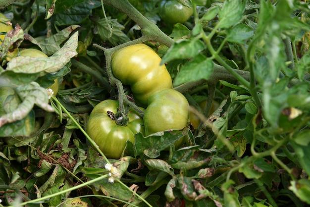 Plant de tomate fraîche en ferme biologique