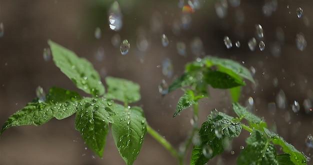 Plant de tomate plantant des légumes entreprise agricole arrosant un plant de tomate faisant pousser des légumes et des céréales dans un sol fertile pour une alimentation saine