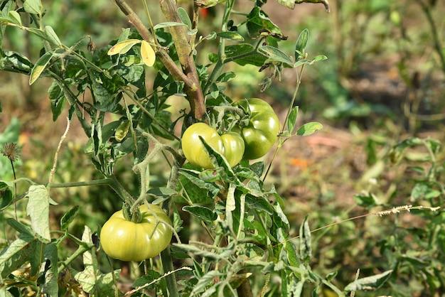 Plant de tomates fraîches dans une ferme biologique